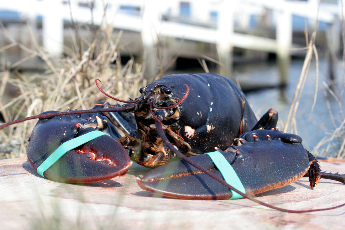 Delicious wild lobster - when in season